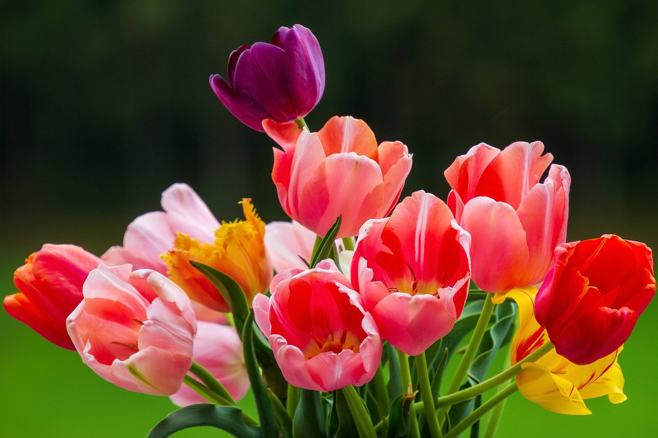 tulips, colorful, nature